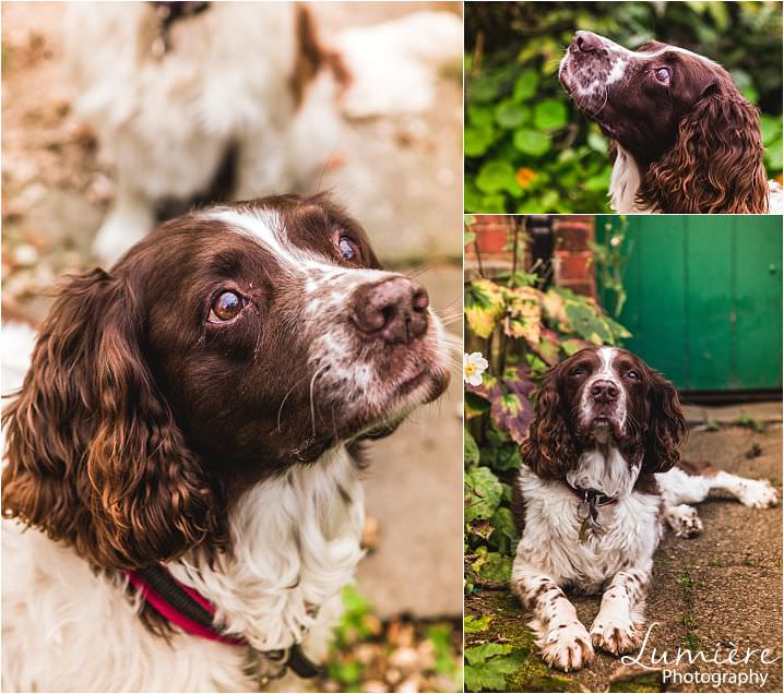 spaniels - pet photography in loughborough by lumiere photography