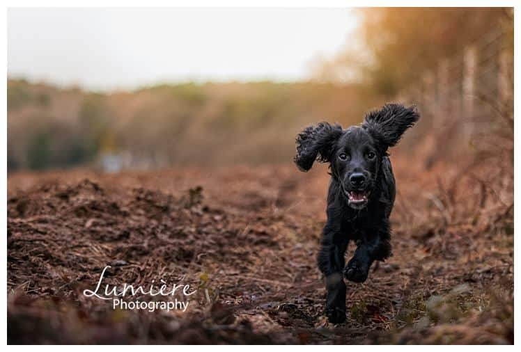 dog photography : cocker spaniel in Bradgate Park