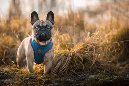 pug frenchie dog photography